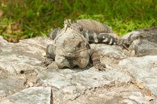 Free Iguana. Stock Image - 20836161