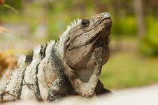 Free Iguana. Royalty Free Stock Photography - 20836207