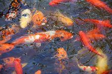 Free Golden Koi Fish Royalty Free Stock Photo - 20837535