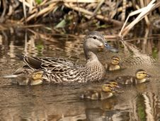 Free Malard Duck Family Royalty Free Stock Photography - 20837707