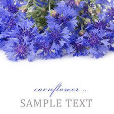 Free Beautiful Blue Cornflower Stock Photography - 20838252