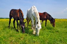 Free Horses On A Summer Pasture Stock Images - 20838664
