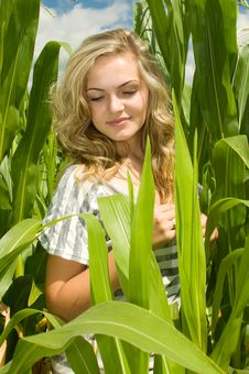 Free Sweetcorn Field Stock Photography - 20839422