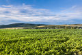 Free Cultivated Soy Field Royalty Free Stock Photos - 20849828