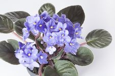 Free Violet Viola Flowers In A Pot Stock Photography - 20840172