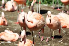 Free Flamingo Stock Images - 20840354