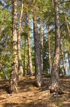 Free Pine Forest Stock Photos - 20840383