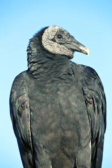 Free Black Vulture (Coragyps Atratus) Stock Images - 20840774