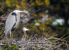 Free Great Blue Heron (Ardea Herodias) Stock Images - 20840834