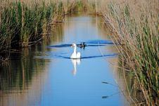 Free Graceful Swan Royalty Free Stock Image - 20840836