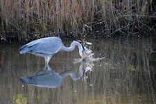 Free A Grey Heron Feeding Royalty Free Stock Photography - 20840857