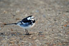 Free A Pied Wagtail Stock Photography - 20840882