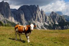 Free Brown Cow Looking At Camera With Alps Background Stock Photo - 20843380