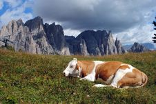 Free Brown Cow Rests In The Grass With Alps Background Royalty Free Stock Photo - 20843385