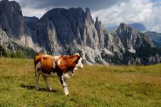 Free Brown Cow Looking Mountains With Alps Background Stock Photography - 20843392