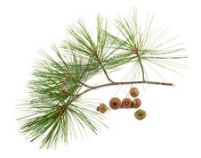 Free Part Of A Fir Branch. Stock Images - 20844044