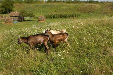 Free Three Goats Stock Image - 20844151