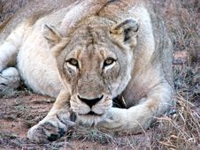 Lioness Staring At Camera Stock Photo