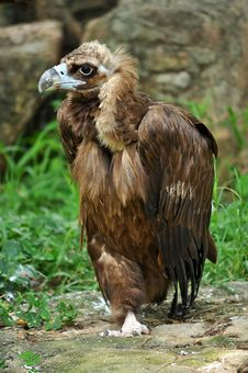 Free The Cinereous Vulture Stock Photos - 20845653