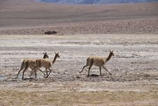 Free Vicuna Stock Images - 20846134