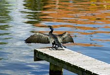 Free Great Cormorant Drying Wings Stock Image - 20847301