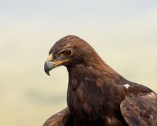 Free Golden Eagle Royalty Free Stock Images - 20847659