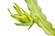 Free Young Dragon Fruit On Its Tree On White Backbround Stock Image - 20848171