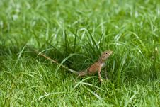 Free Lizard In A Grass Royalty Free Stock Images - 20849089