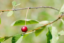 Free Red Cherry Stock Images - 20849344