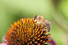 Free Echinacea Flower Stock Image - 20849561