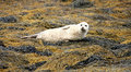 Free Grey Seal. Stock Photography - 20853832