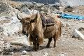 Free Himalayan Yak Royalty Free Stock Photography - 20858277
