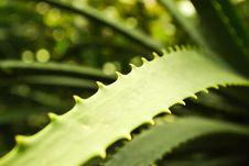 Free Aloe Vera Stock Images - 20851904