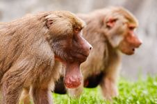 Free Male Hamadryas Baboon With Food Pouch Stock Photos - 20852403