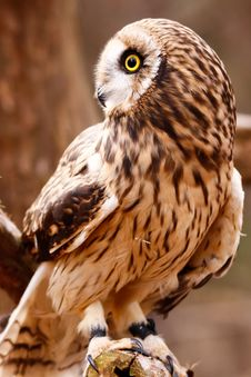 Free Short-eared Owl Perching Royalty Free Stock Image - 20852476