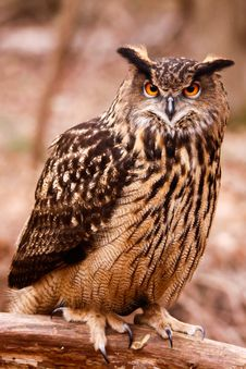 Free Eurasian Eagle Owl - Intense Gaze Stock Images - 20852494