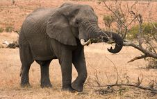 Free Wild Elephant In Habitat Stock Photo - 20852890