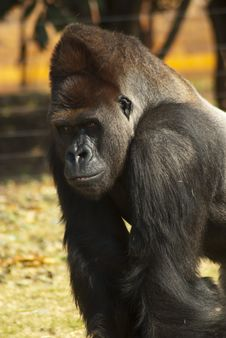 Close-up Of Gorilla Stock Photo