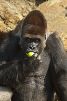 Free Close-up Of Gorilla Eating An Apple Stock Photography - 20854572