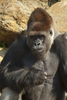 Free Close-up Of Gorilla Royalty Free Stock Photo - 20854635
