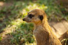 Free Close-up Of Meerkat Stock Photo - 20854640