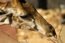 Free Close-up Of A Giraffe S Face Royalty Free Stock Images - 20854669