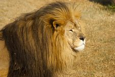 Free Male Lion Looking Intently Royalty Free Stock Photo - 20854805