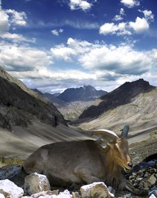 Free Mountain Goat Royalty Free Stock Photo - 20854815