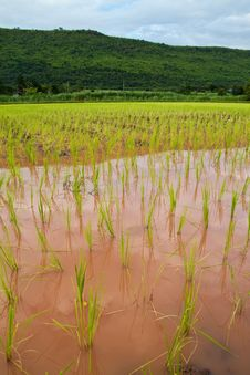 Paddy And The Rice Seedlings Stock Image