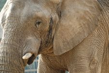 Free Close-up Shot Of An Elephant S Face Stock Photos - 20855273