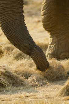 Free Close-up Of An Elephant S Trunk Royalty Free Stock Photos - 20855388