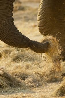 Free Close-up Of An Elephant S Trunk Royalty Free Stock Photo - 20855415