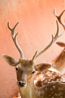 Free Fallow Deer  Close Up Royalty Free Stock Photo - 20855625