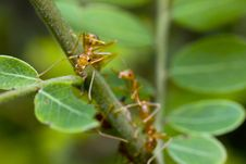 Free Red Ant On Green Leaf Stock Photo - 20857140